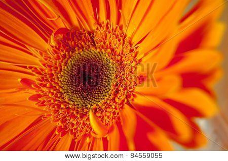 Macro photo og the orange herbera flower