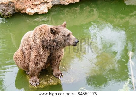 Brown Bear Sitting On The Rock, Rainy Day