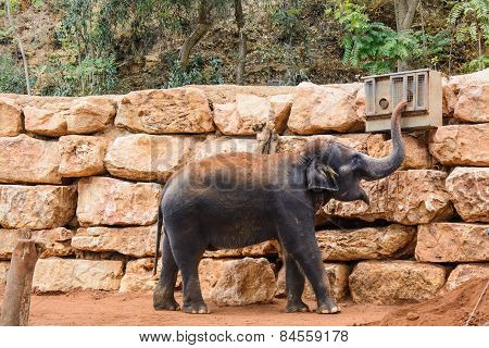 An Asian Elephant In Zoo