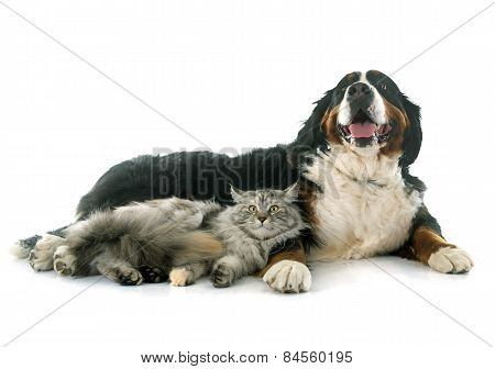 Maine Coon Cat And Bernese Mountain Dog