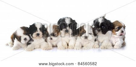 Puppies Shih Tzu