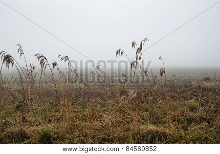Wet Seed Heads Of Reed Plants In The Mist
