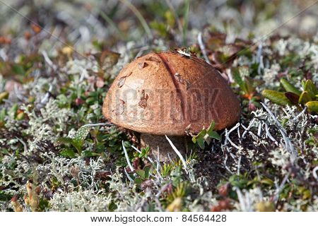 Lone mushroom in tundra among moss and grass