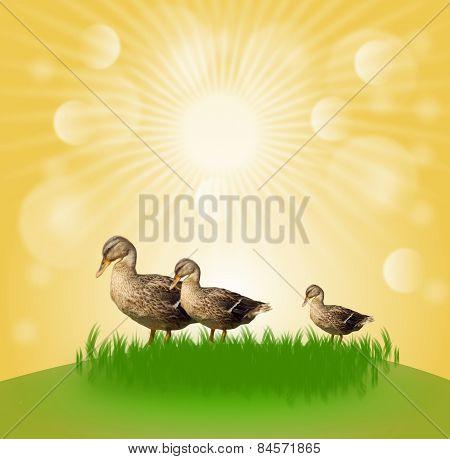 Three Ducks In Sun Shine