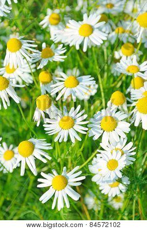 Matricaria Chamomilla Flowers