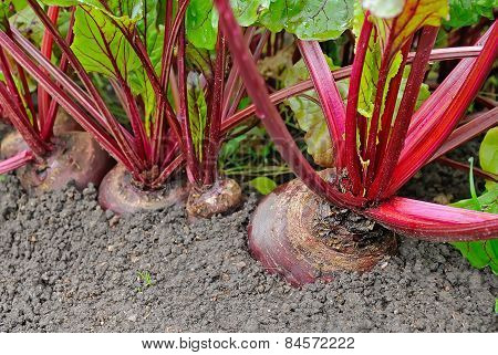 Beetroot In A Vegetable Garden
