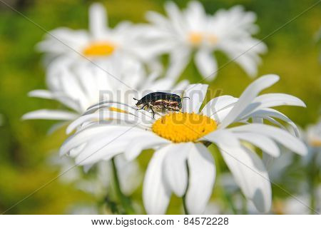 The Beetle On  Flower Of Camomile