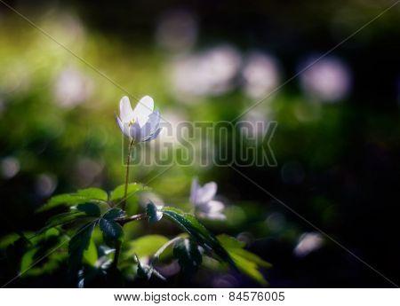 White Spring Anemones