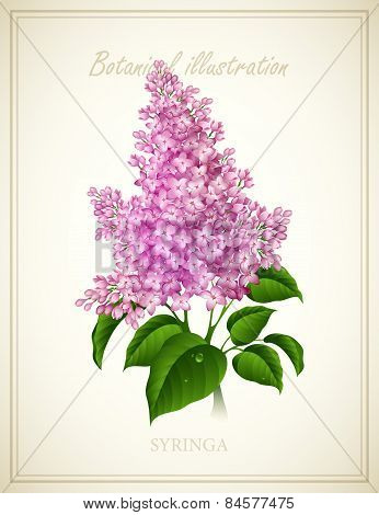 Syringa. Botanical Vector illustration