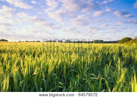 Sunset Over Cereal Field In Summer