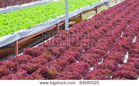 Fresh red lettuce grown in hydroponic systems