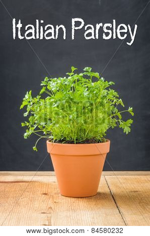 Italian Parsley In A Clay Pot On A Dark Background