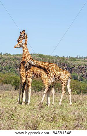three giraffes herd in savannah