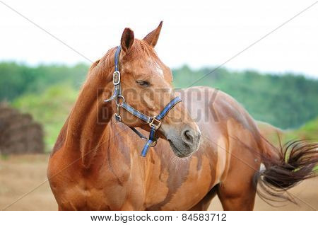 Portrait Of Beautiful Red Horse In Summer