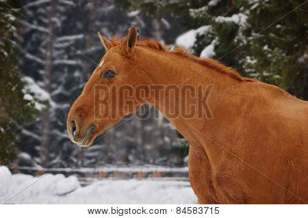 Chestnut Horse In Winter Snow-covered Background