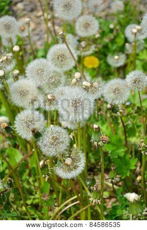 Dandelion During Flowering