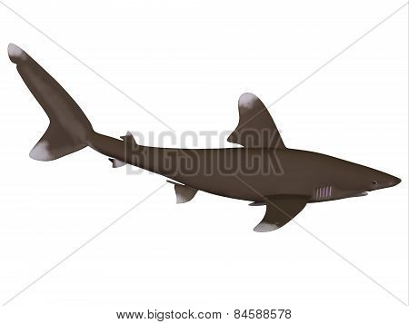Oceanic Whitetip Shark Profile