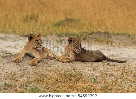 Lion Cubs lying on the plains in Zimbabwe