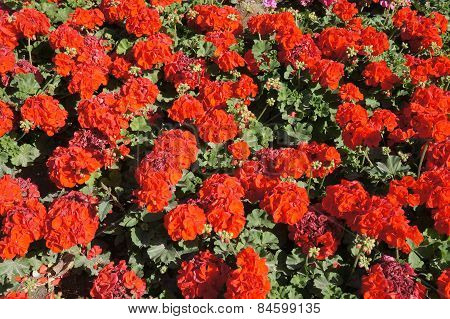 Red geranium background
