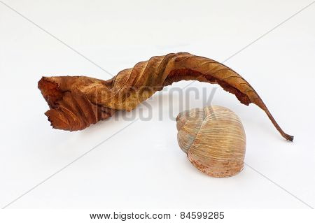 Old Red Leaf And Cockle-shell