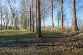 pic of row trees  - Rows of leafless trees with a rough bark early in the morning at the end of the winter season - JPG