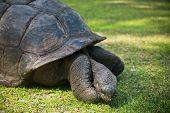 foto of tortoise  - Aldabran seychelles giant tortoise - JPG
