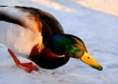 picture of duck pond  - Wild duck standing on the shore of the pond with the sun at sunset
