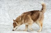 foto of husky sled dog breeds  - Husky sleuths in the snow of the park - JPG