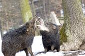 picture of javelina  - A herd of wild peccary - JPG