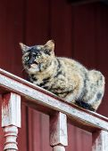 picture of tabby-cat  - Tabby Cat - JPG