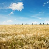 pic of fall-wheat  - ripe wheat on a field - JPG