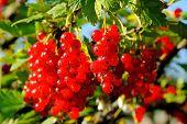 foto of berries  - Ripe berries currants on a branch - JPG