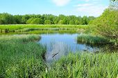 stock photo of bulrushes  - The bog in the forest on a summer day - JPG