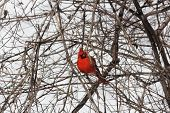 picture of cardinal  - Male Northern Cardinal (Cardinalis cardinalis) on a branch of a small bush on a cold winter day.