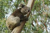 foto of eucalyptus trees  - Australian koala bear on eucalyptus tree - JPG