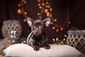 foto of chihuahua  - Chihuahua puppy dog on a studio background - JPG