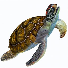 picture of herbivore  - The Green Sea Turtle is herbivorous and lives in warm subtropical and tropical ocean waters throughout the world - JPG