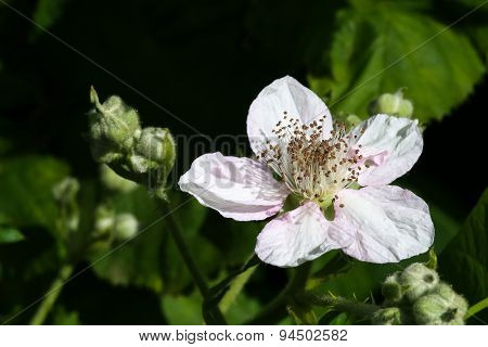 Pink Wild Rose With Beautiful Petals