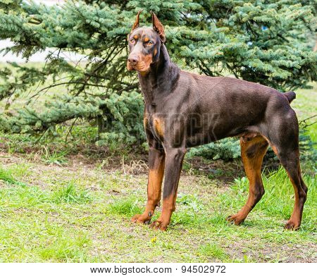 Doberman Pinscher brown.