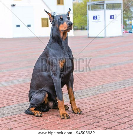Doberman Pinscher seats.
