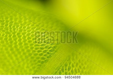 Detail Of Moss Leaf (Plagiomnium Affine)