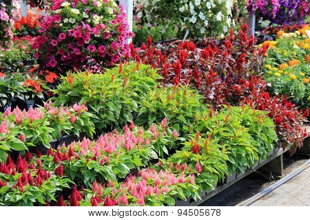Rows of colorful flats and hanging plants