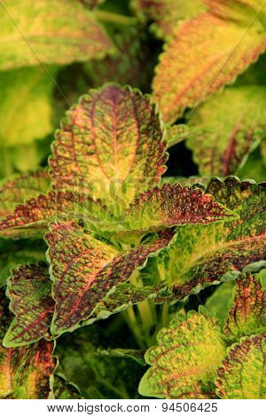 Beautiful leaves of lush Coleus plant