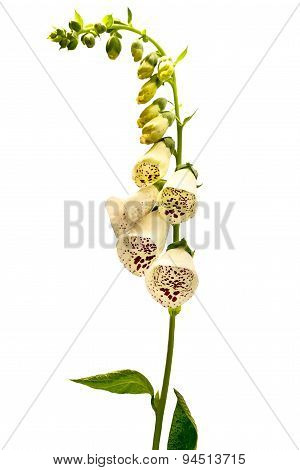 Flower Foxglove, Lat. Digitalis Purpurea Isolated On White Background