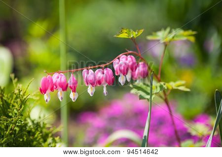 Pink Dicentra Flower