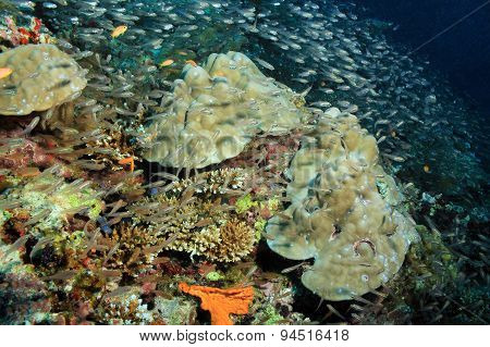 Schooling Fish over Coral Reef