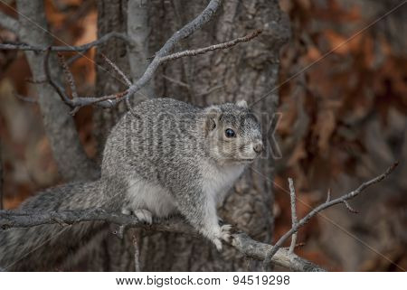 Endangered Delmarva Fox Squirrel