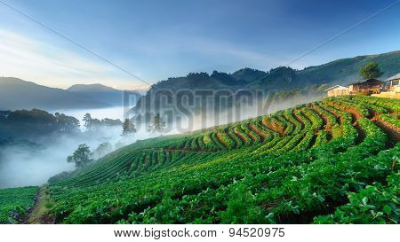 Strawberry Field At Doi Angkhang Mountain, Chiang Mai, Thailand.