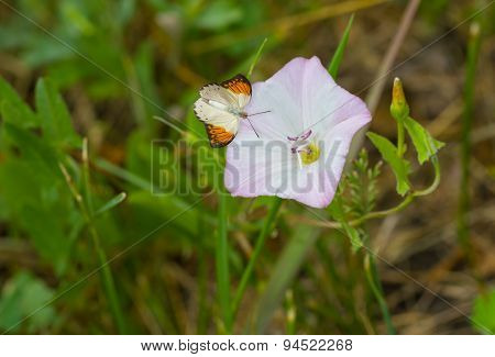 Beautiful wild bell-flower receiving visitor butterfly