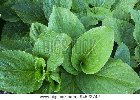 Skunk Cabbage Top View